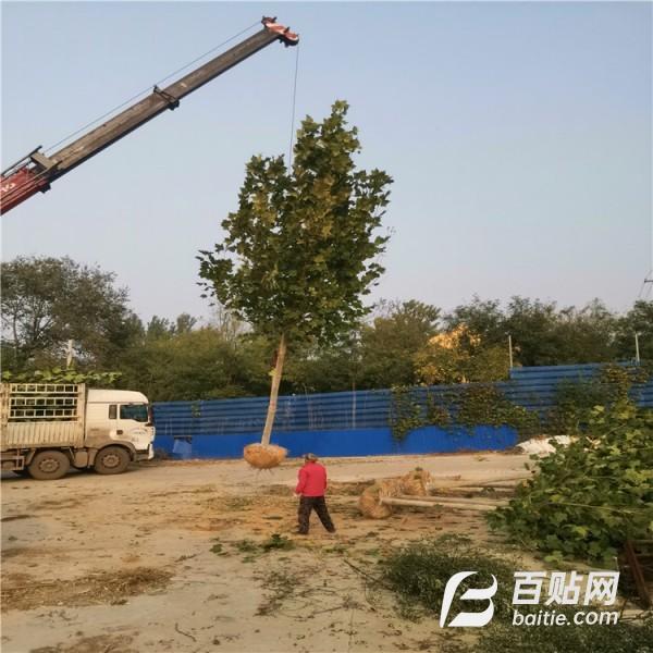 常年供应12-15cm法桐 法桐基地 优等树图片