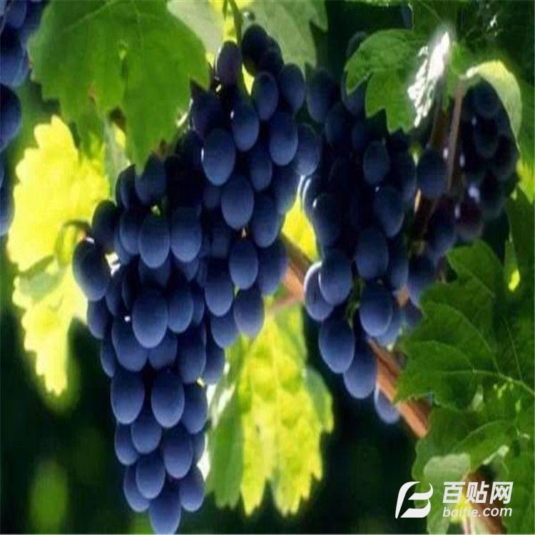 山东嫁接葡萄树 河北2年巨峰葡萄 甜蜜蓝宝石葡萄树价格图片