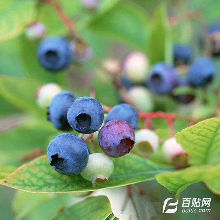 多年出售多年出售蓝莓 带土球发货 当年结果 挂果多 蓝莓树图片