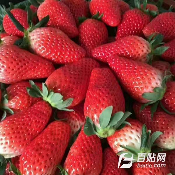 基地大量种植四季草莓苗 红颜草莓苗 章姬草莓苗 品种齐全草莓苗图片